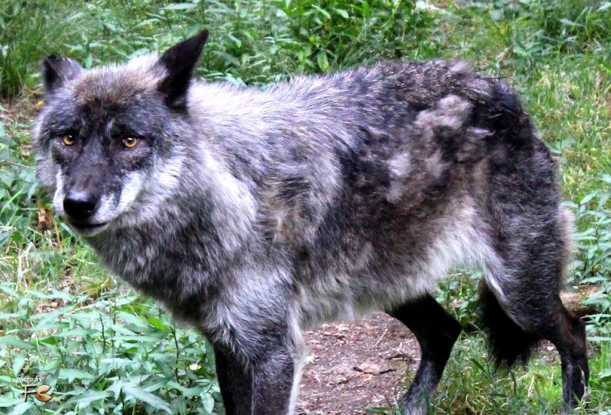 """Wolf """"May"""" - Wildpark Hanau Klein-Auheim - Photos by FC - Jeannette Dewald"""