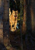 Wolf mit Blick in den Sonnenuntergang