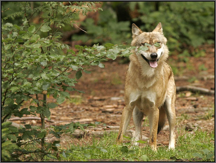 """Wolf mit Brille? Kategorie """"Dumm gelaufen..."""""""