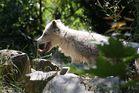 Wolf mit raushängender Zunge