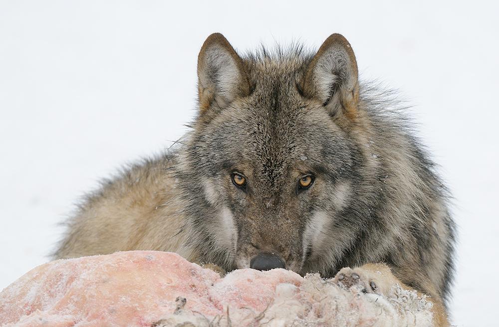 wolf mit schafspelz foto bild tiere zoo wildpark falknerei s ugetiere bilder auf. Black Bedroom Furniture Sets. Home Design Ideas