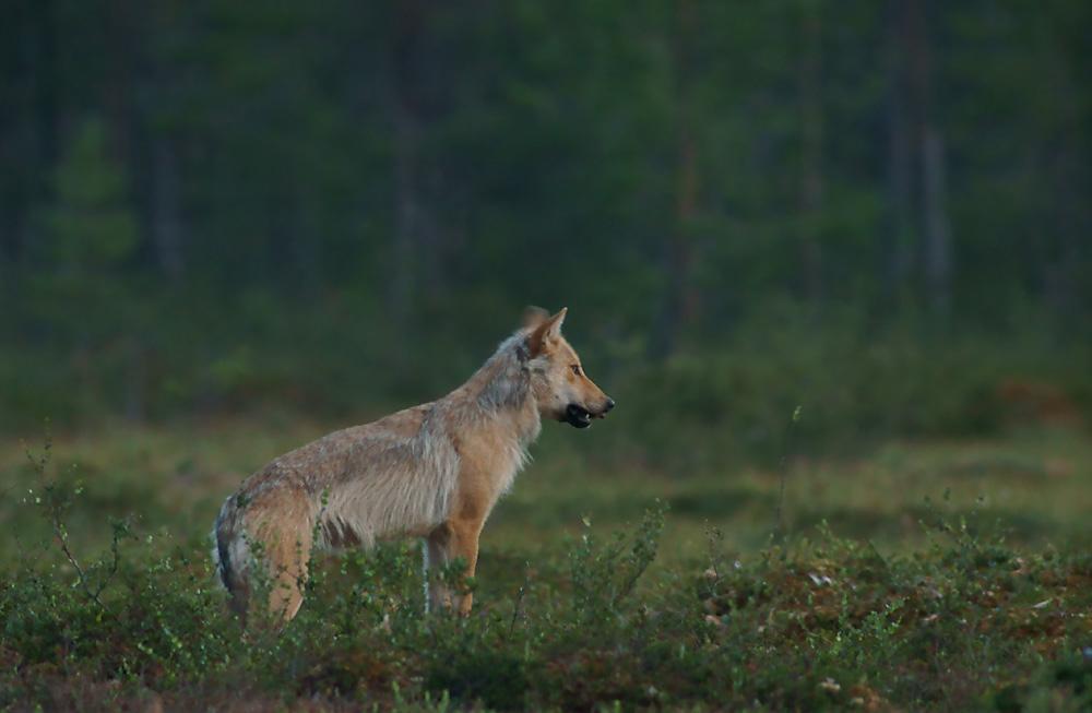Wolf mit Wackelohr ;-)
