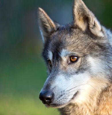 Wolf my dog
