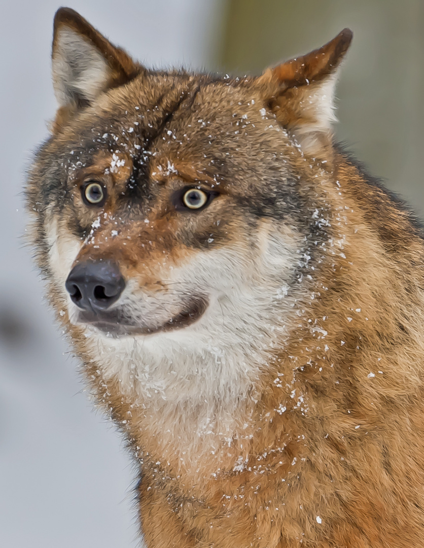 Wolf - NP Bayer. Wald 2