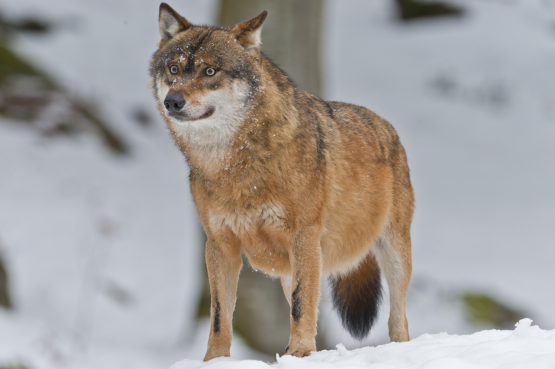 Wolf - NP Bayer. Wald