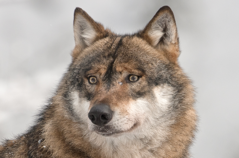 Wolf - NP Bayer.Wald