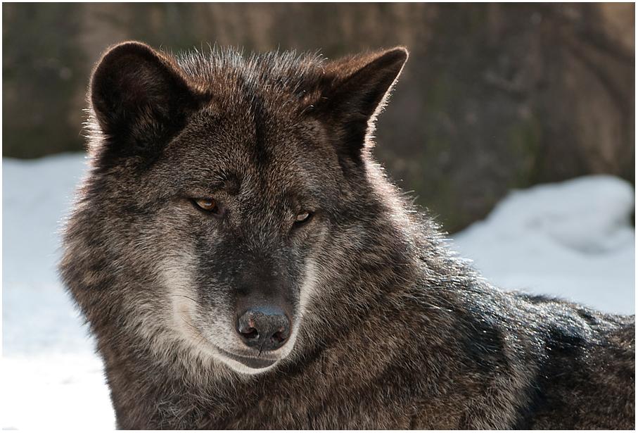 Wolf Nummer 2