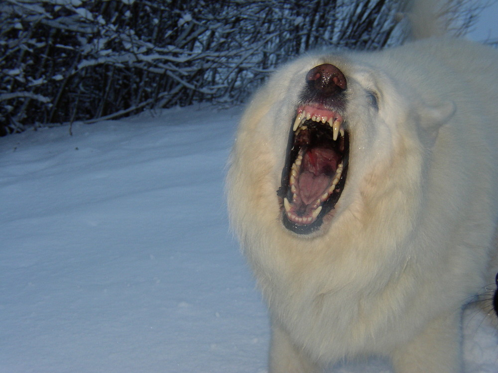 Wolf oder Hund?