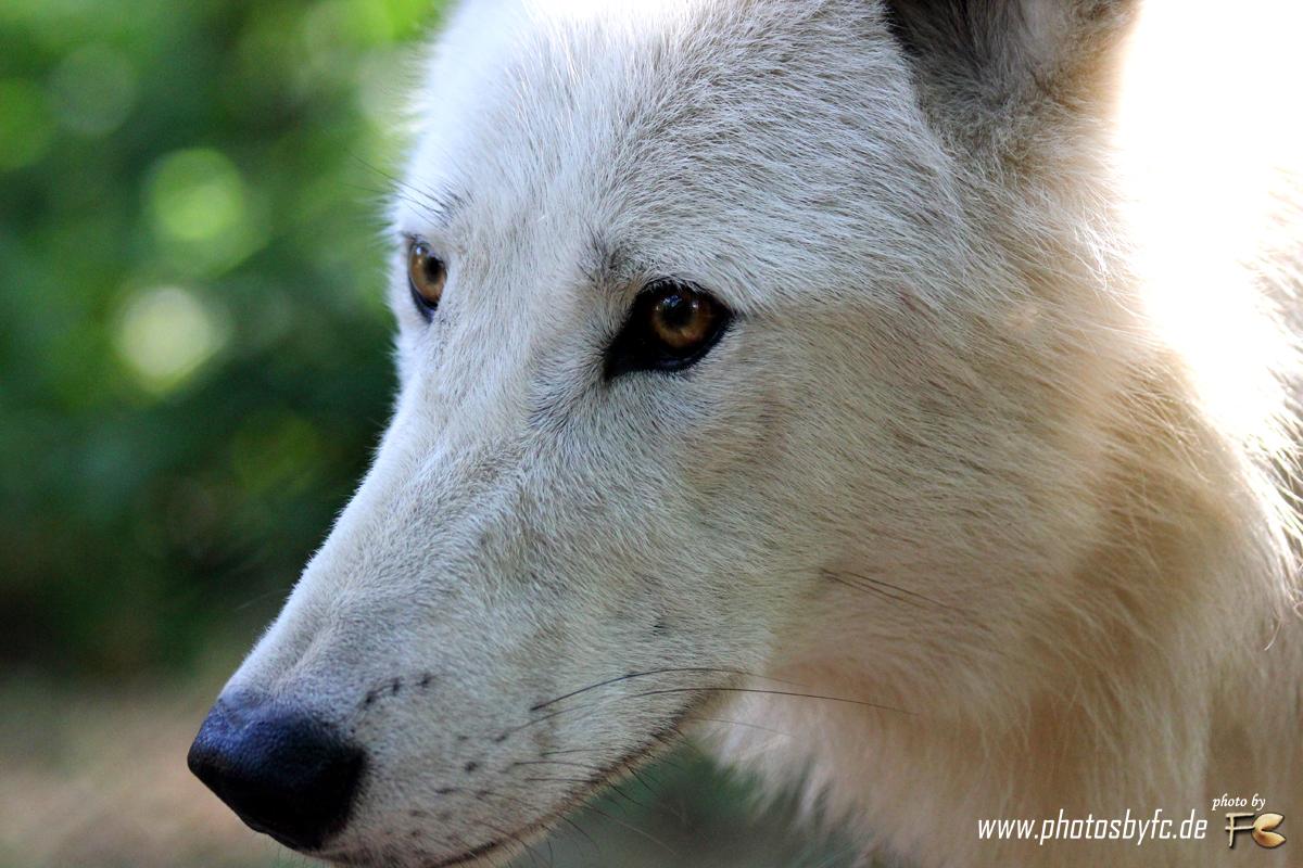 Wolf (Polarwolf) - Wildpark Hanau Klein-Auheim - Photos by FC - Jeannette Dewald