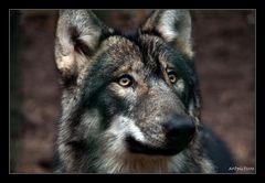Wolf-Portait
