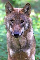"""Wolf Portrait - Wildpark """"Alte Fasanerie"""" Hanau Klein-Auheim"""