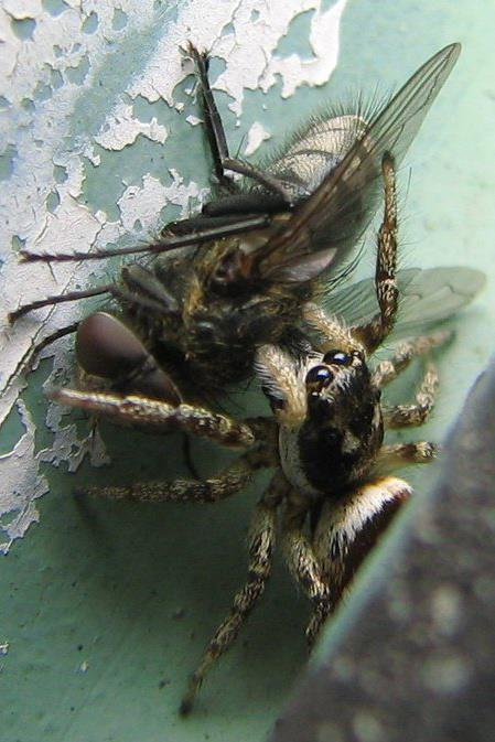Wolf spider with fly