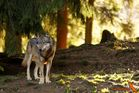 Wolf - Tierpark Lohberg