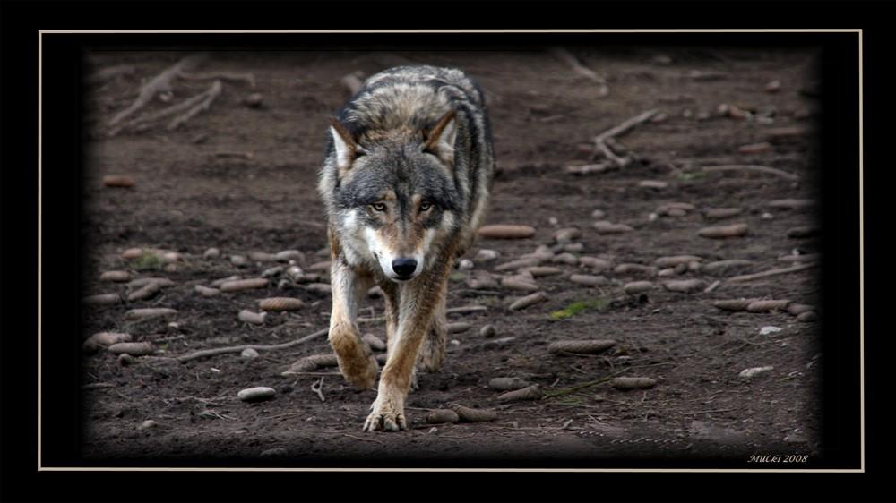 Wolf Tierpark Muc