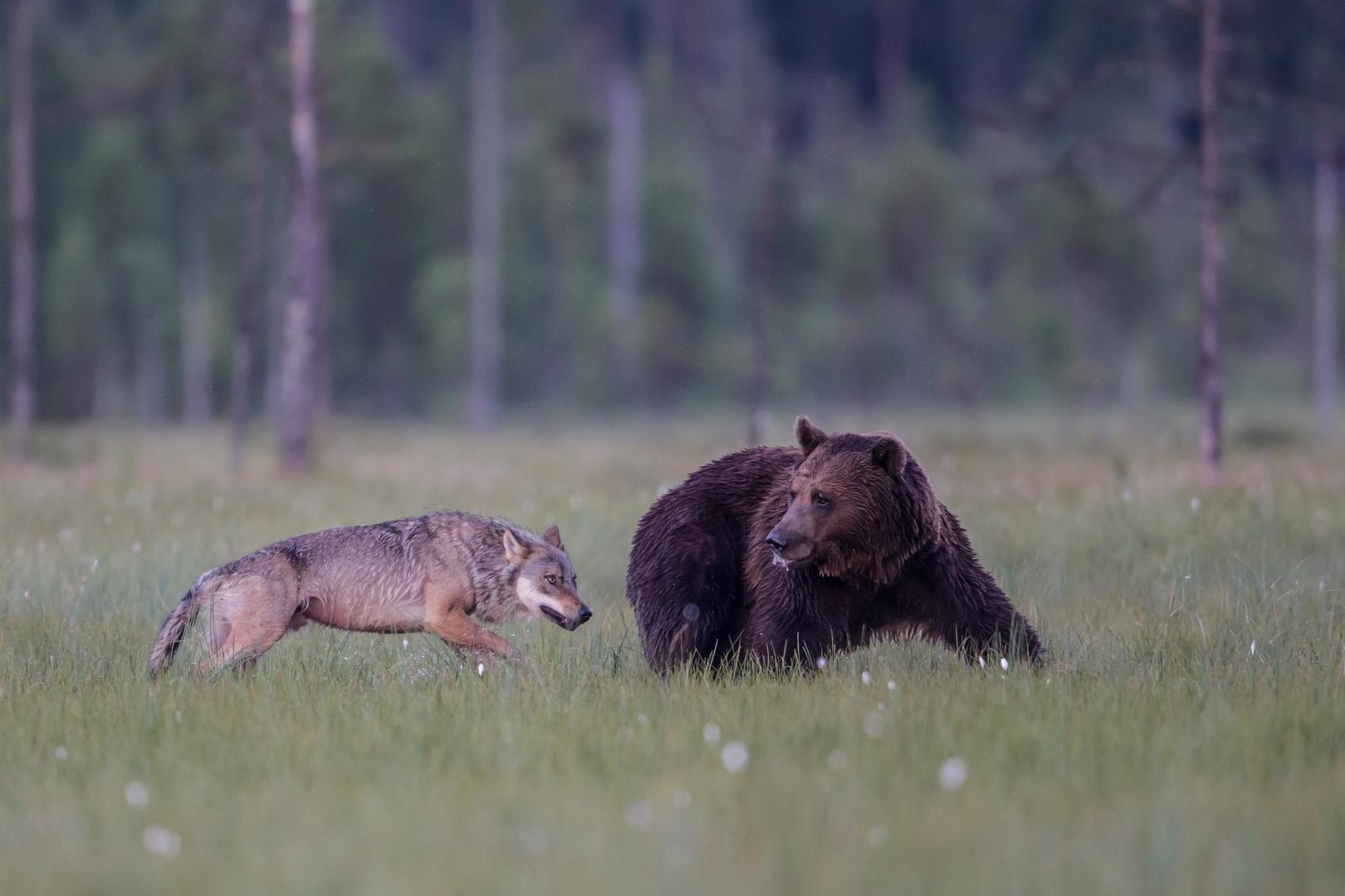 Wolf und Bär: Achtung ! Hinter Dir !