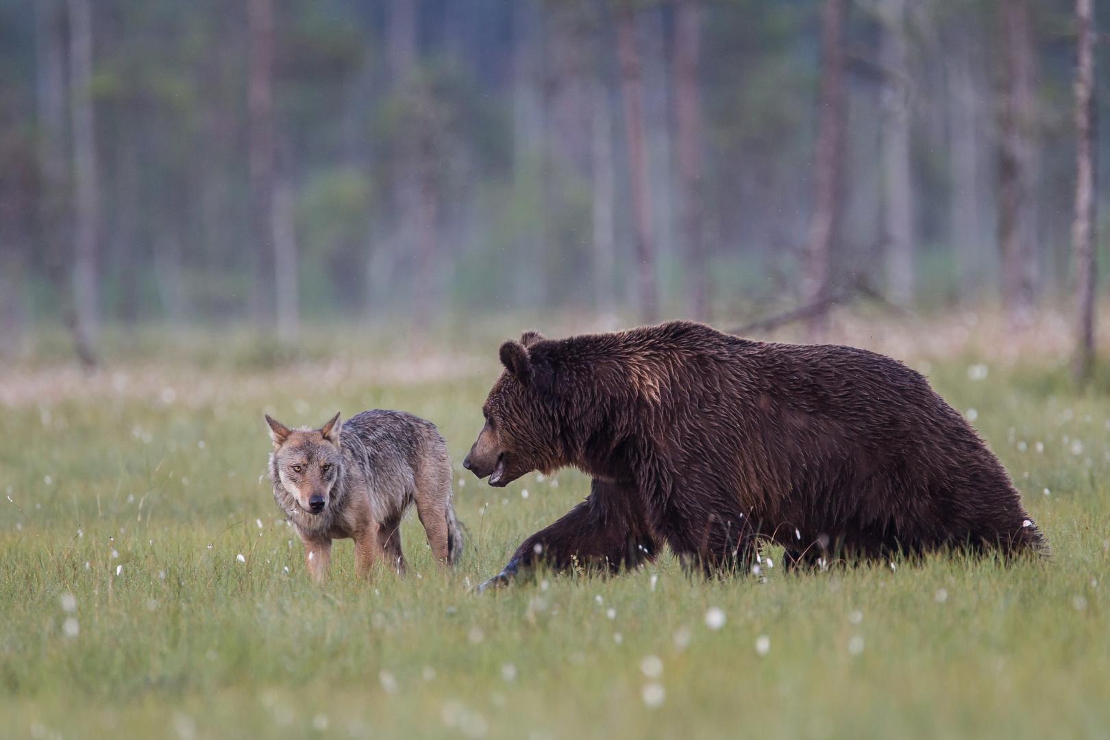 Wolf und Bär: Lass uns mal in Ruhe disskutieren!