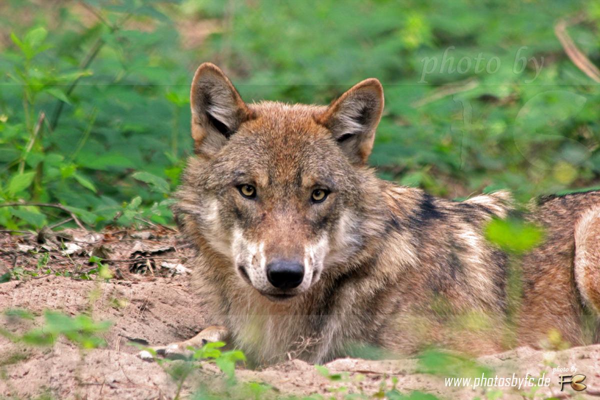 """Wolf - Wildpark """"Alte Fasanerie"""" Hanau Klein-Auheim - Photos by FC - Jeannette Dewald"""