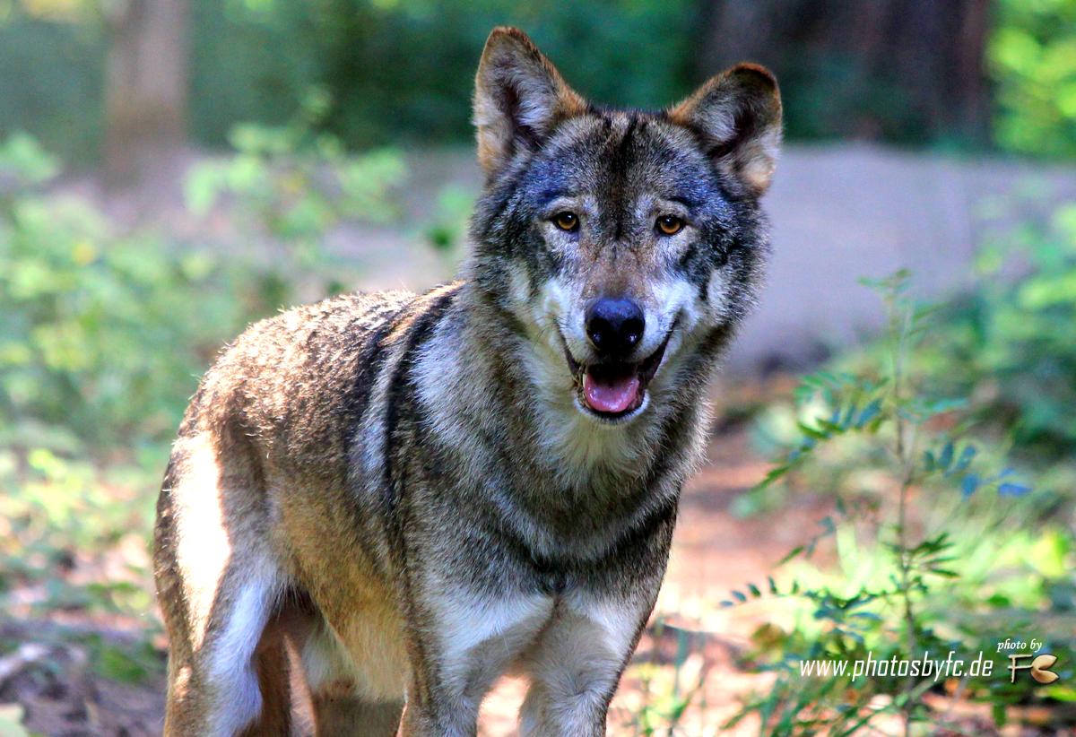 Wolf  Wildpark Hanau Klein-Auheim - Photos by FC - Jeannette Dewald