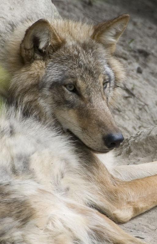 Wolf - Zoo Zürich