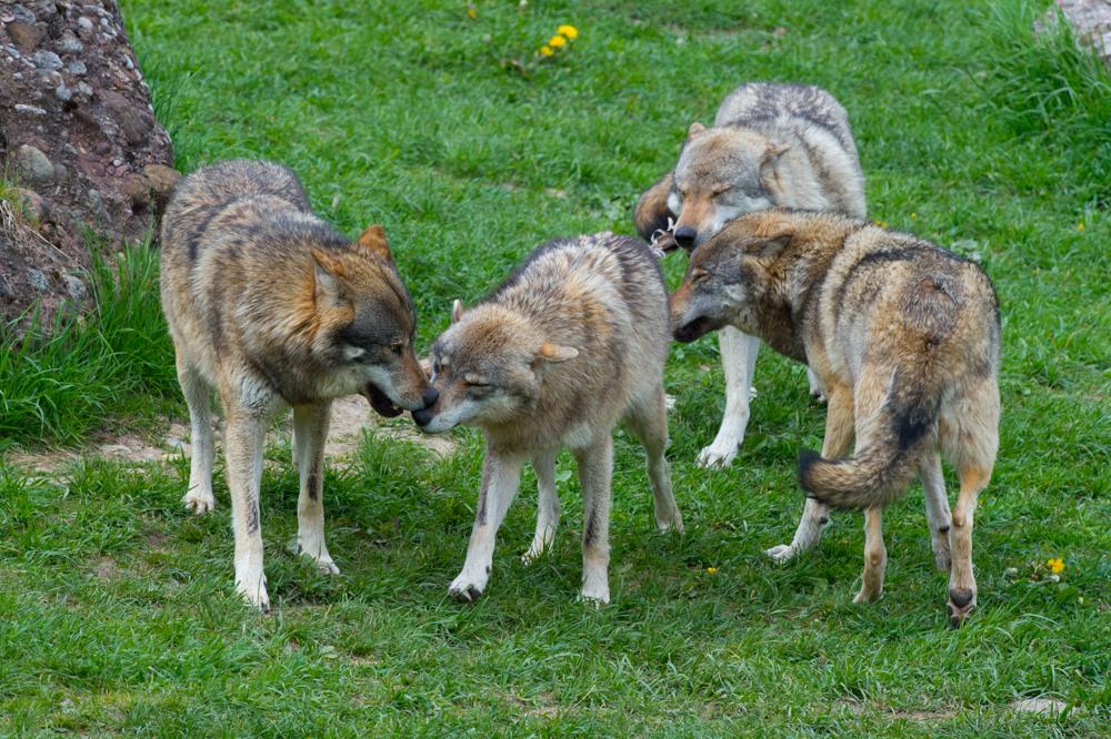 Wolf_0286
