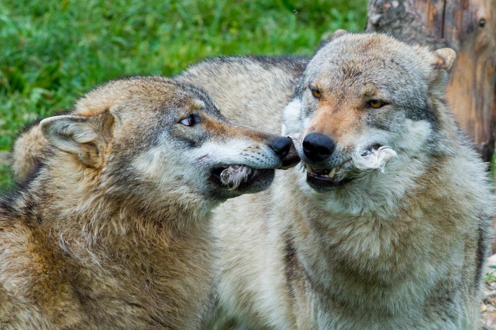 Wolf_0292