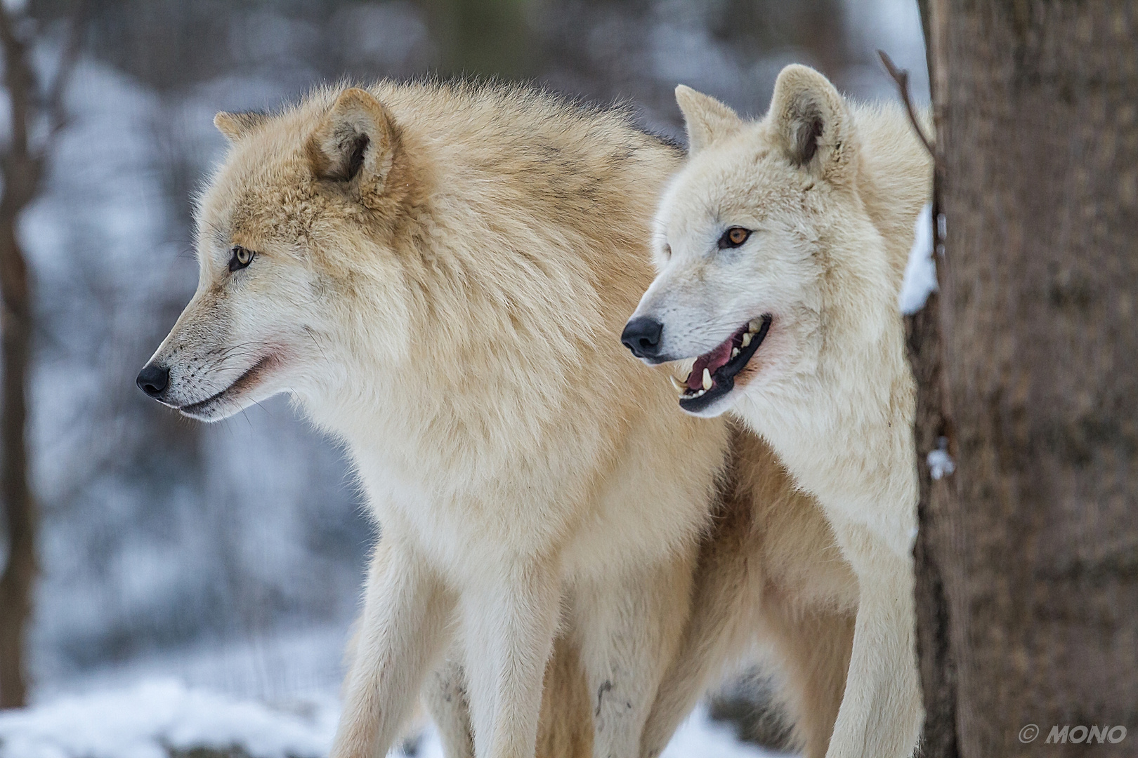 wolf_4
