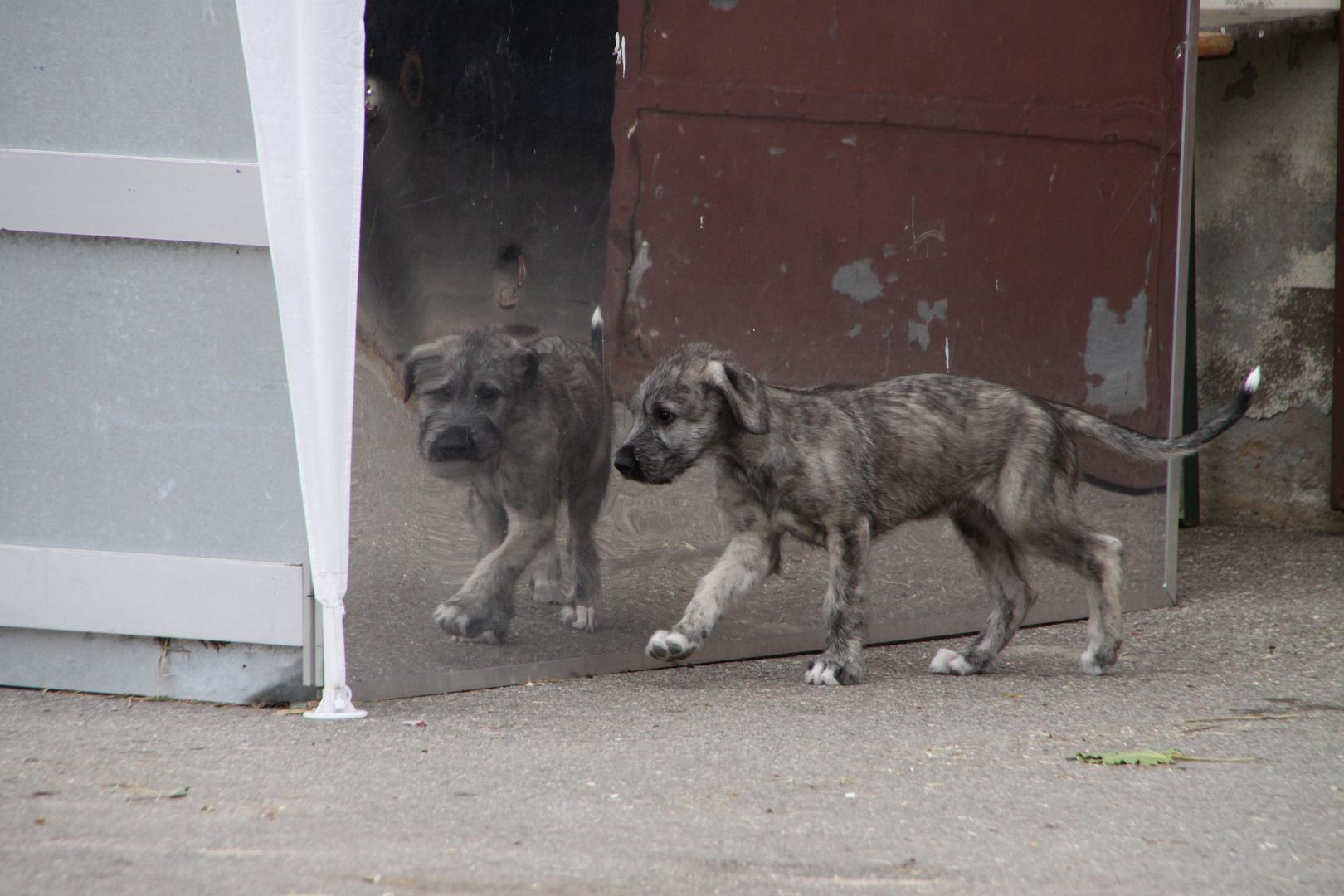 Wolfhound Baby
