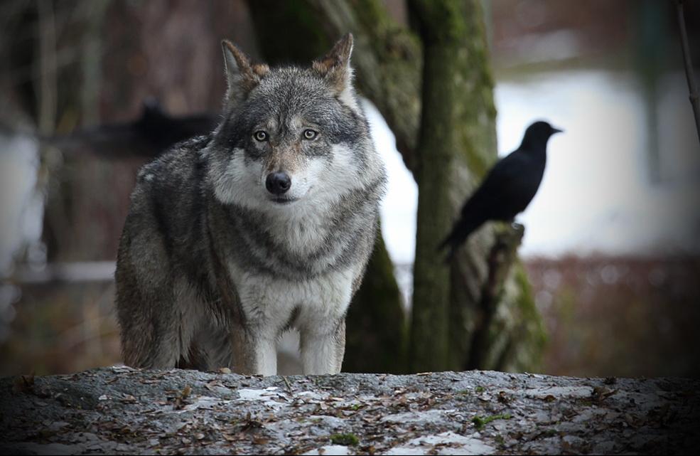 Wolfi