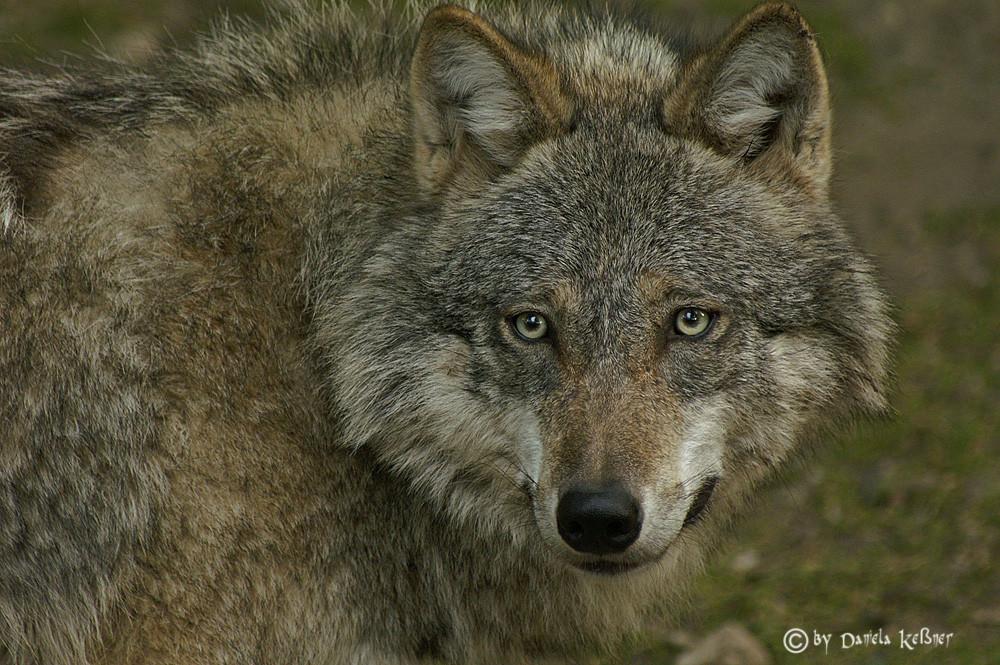 Wolfportrait (reload)