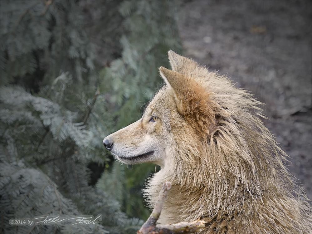 Wolfportrait reloaded