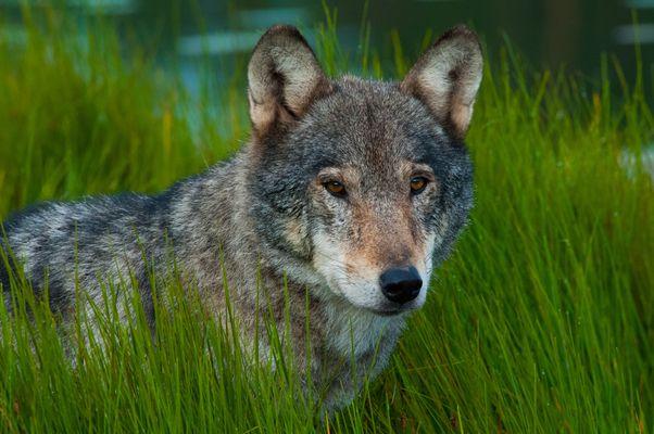 Wolfs Gras