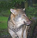 Wolf´s Revier