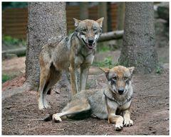 Wolfs-Siesta