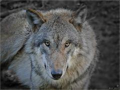 Wolfsblick....