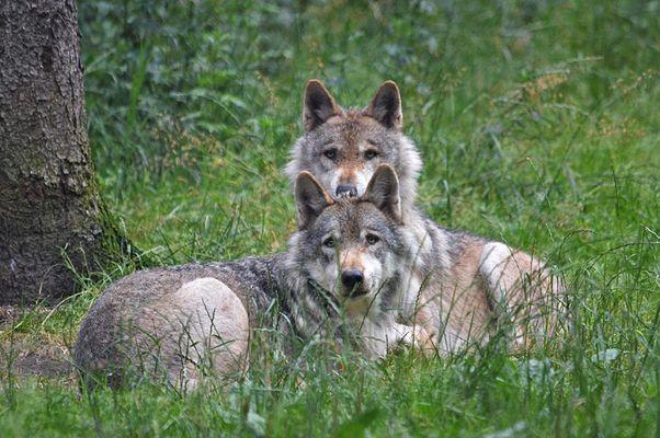* Wolfsbrüder *