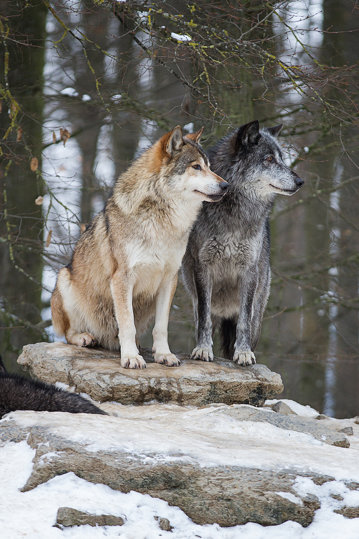 Wolfsbrut II