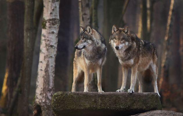 Wolfsduo
