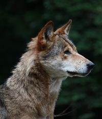 Wolfsfan