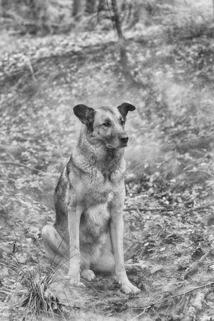 Wolfshund im Wald 3