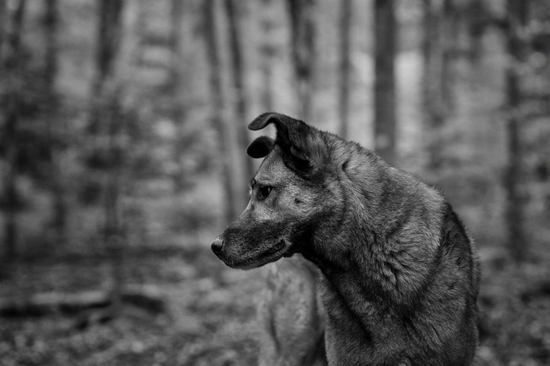 Wolfshund im Wald 4