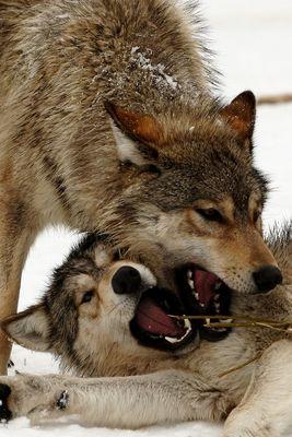 Wolfsjungen beim Spiel