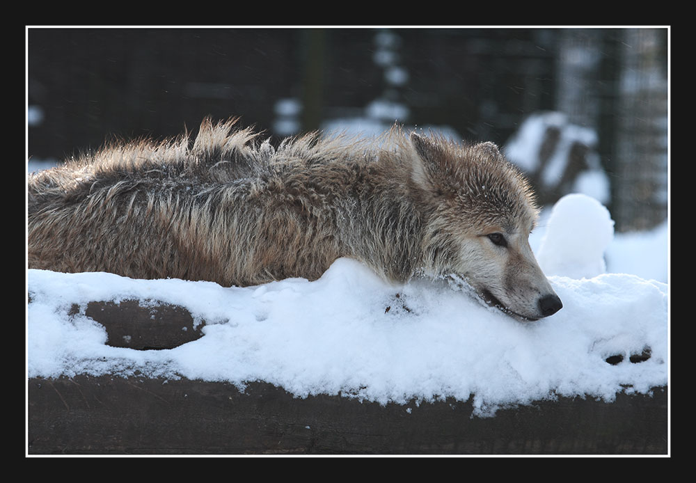 Wolfskälte