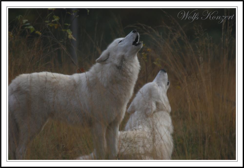 Wolfskonzert