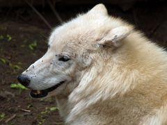 wolfslächeln