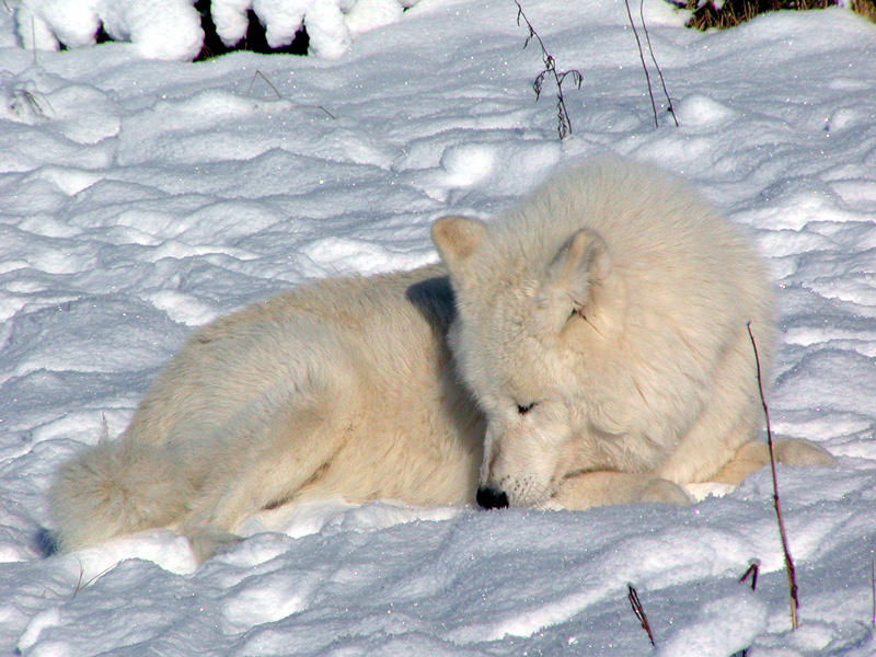 Wolfspause
