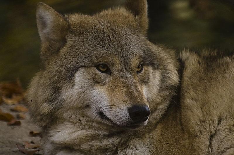 Wolfsportrait