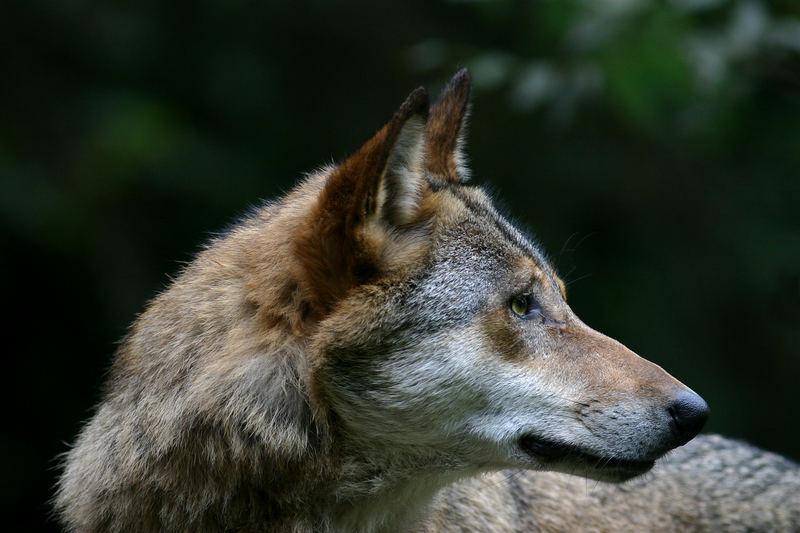 Wolfsprofil