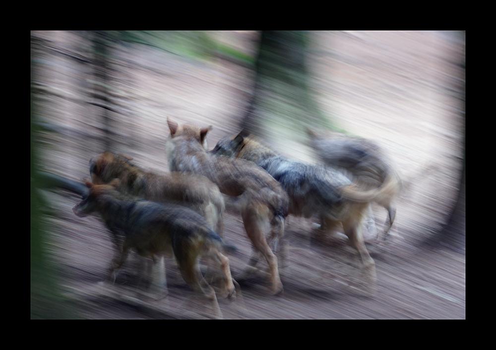 Wolfsrudel abstrakt