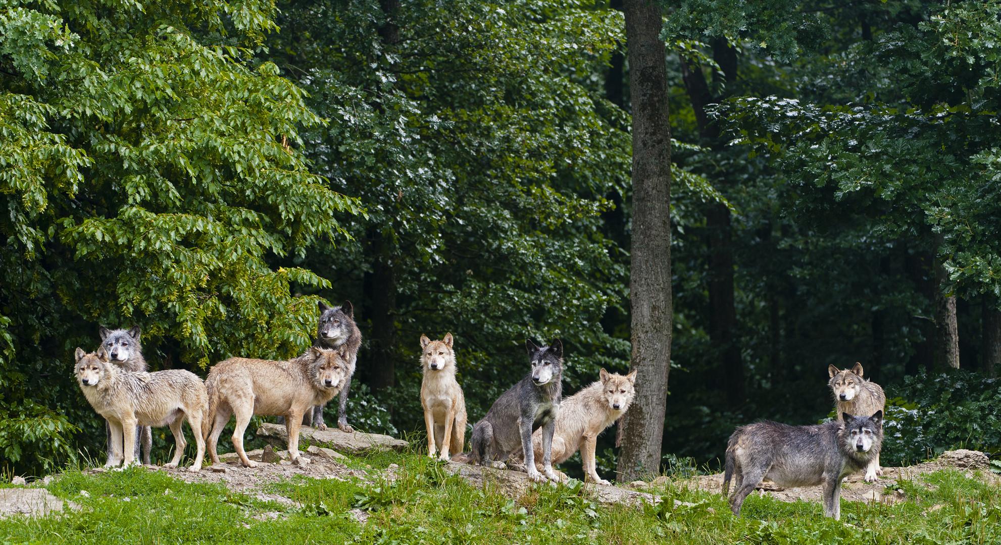 Wolfsrudel - Timberwölfe Bad Mergentheim