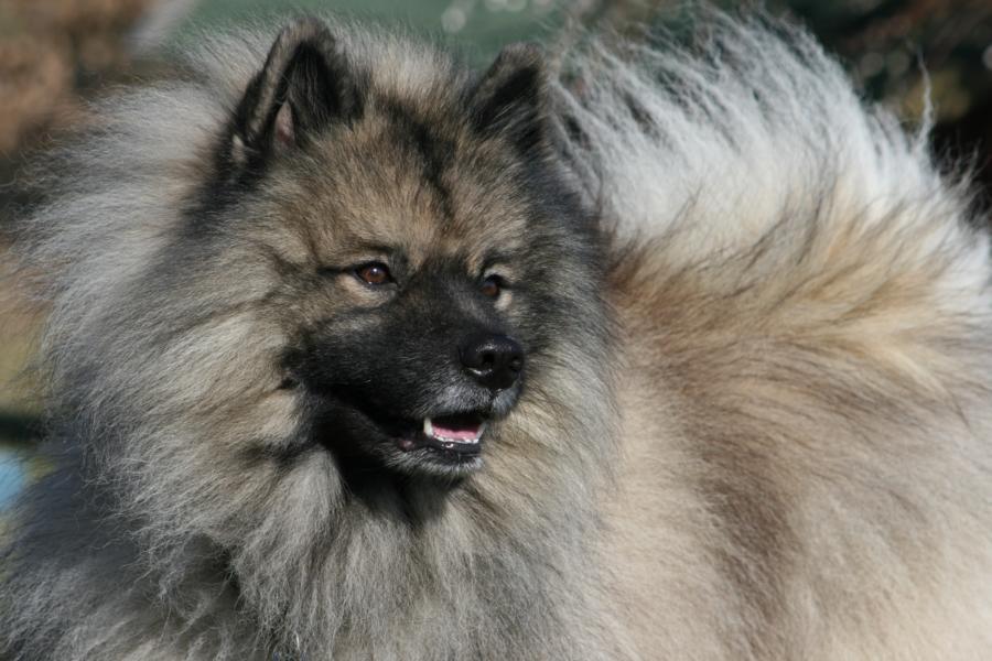 Wolfsspitz Deckrüde Vince